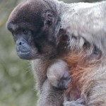 New Arrival. Woolly Monkey at Monkey World, Dorset