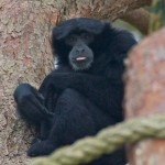 Siamang Gibbon in the trees at Monkey World, Dorset