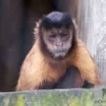 Capuchin Monkey at Monkey World, Dorset