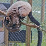Blue, a Ruffed Lemur