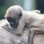 Baby Eva. Woolly Monkey